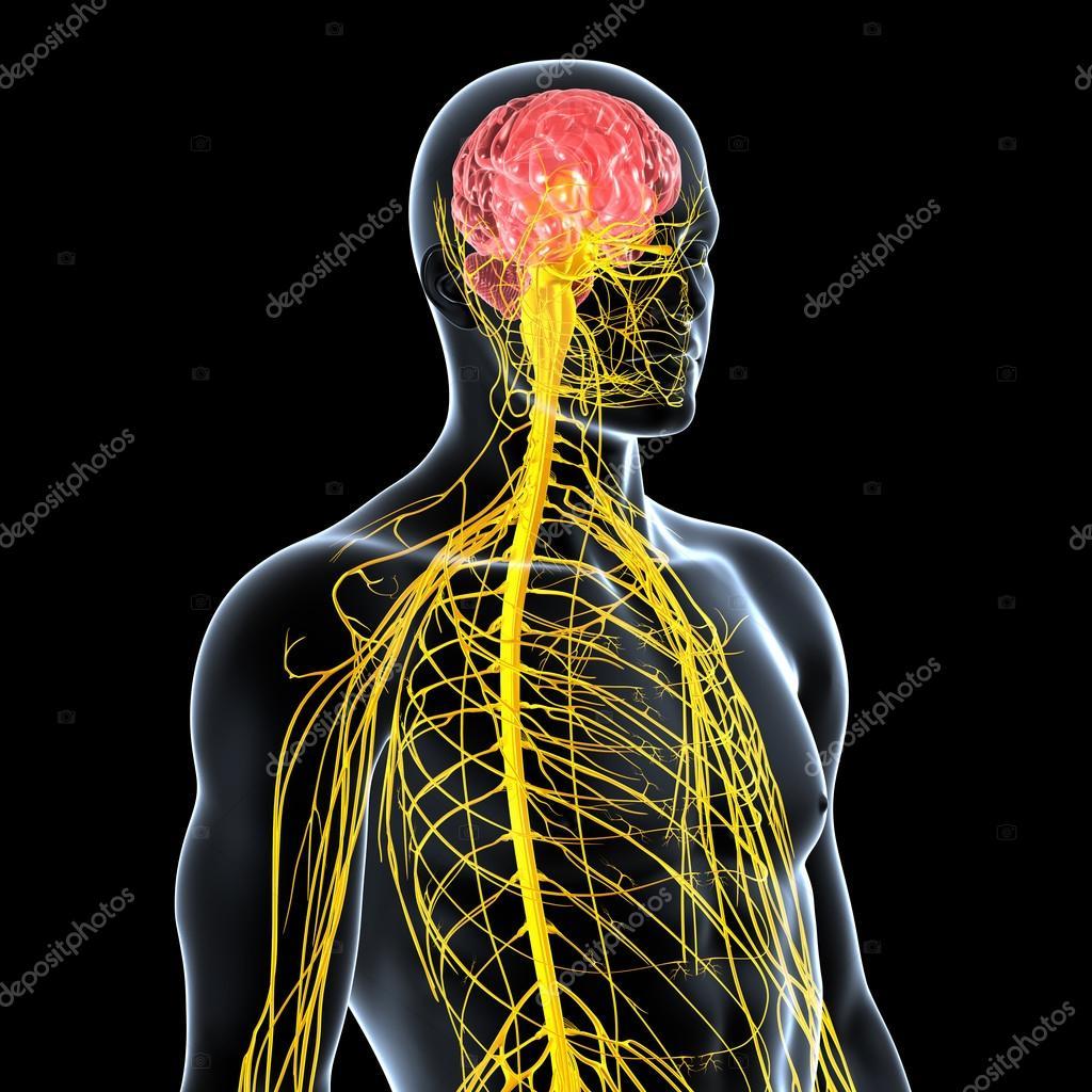 Ansicht des männlichen Nervensystems — Stockfoto © pixologic #22670985