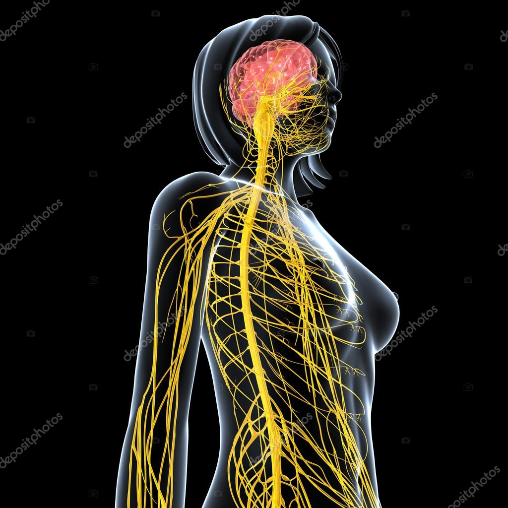 Nervous system of female body view isolated in black — Stock Photo ...