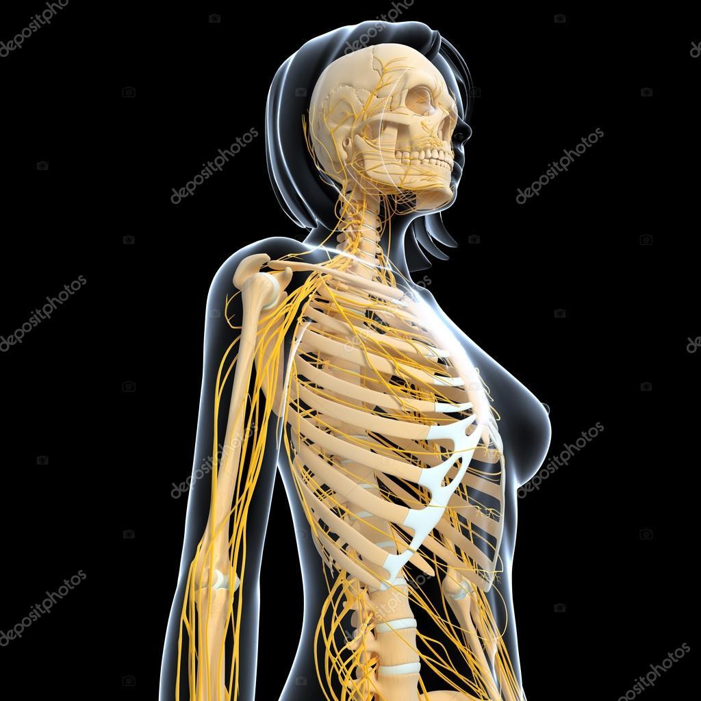 3D-Illustration Kunst des Nervensystems — Stockfoto © pixologic ...
