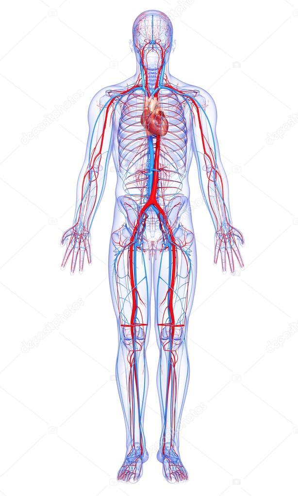 Anatomie des menschlichen Körpers — Stockfoto © pixologic #22674719