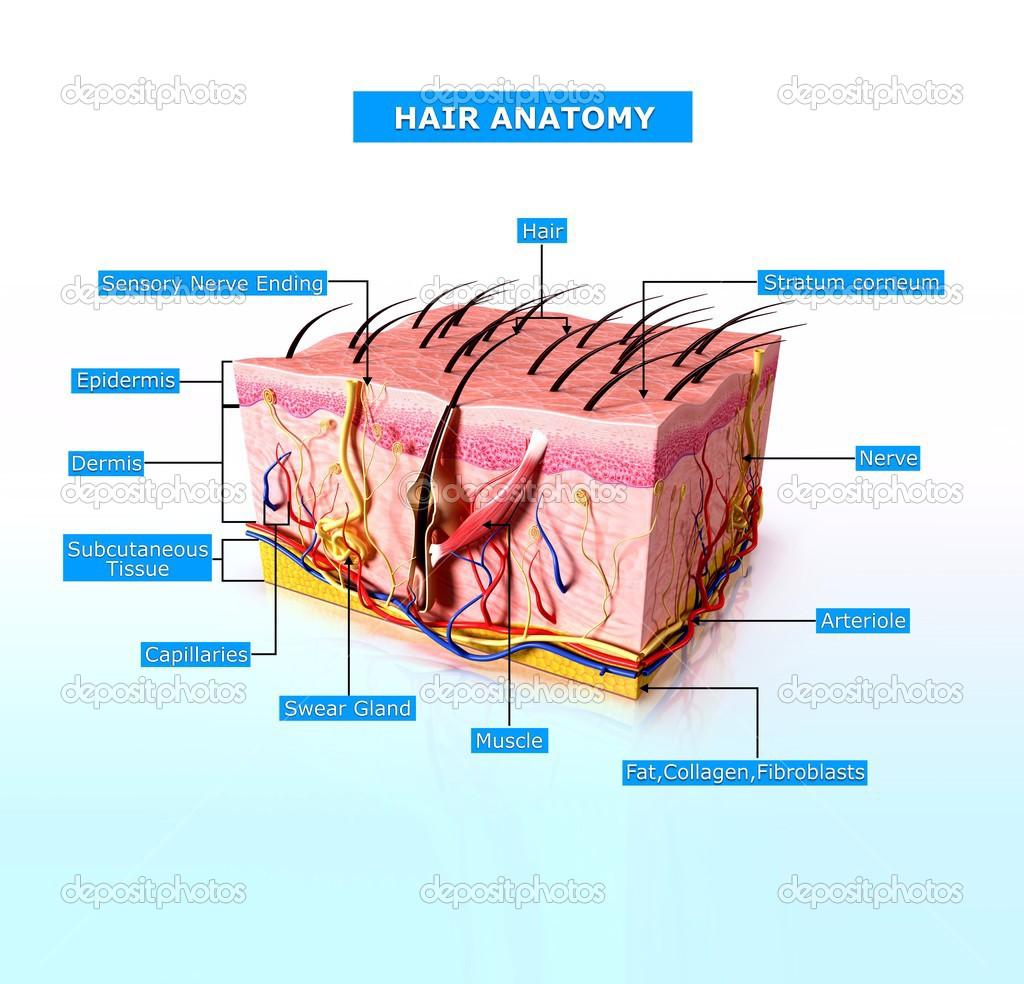 Ilustración de la anatomía del pelo con nombres — Fotos de Stock ...