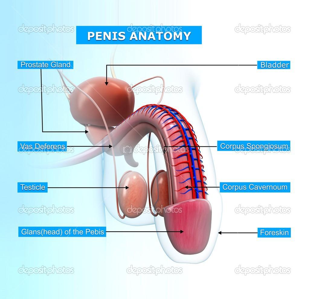 männliche reproduktive System mit Namen — Stockfoto © pixologic ...