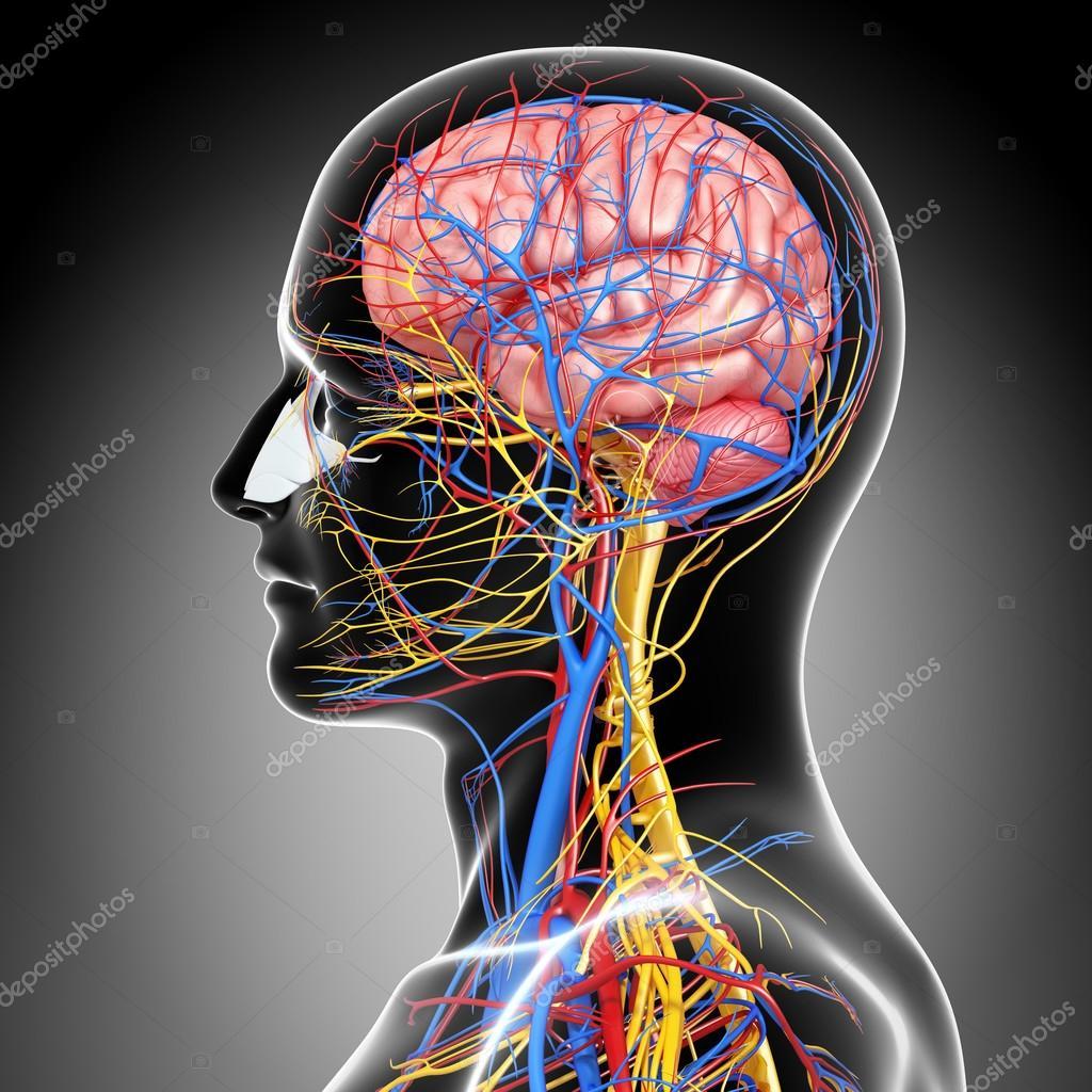 Seitenansicht Des Kreislauf Und Nervöse System Mit Augen Hals