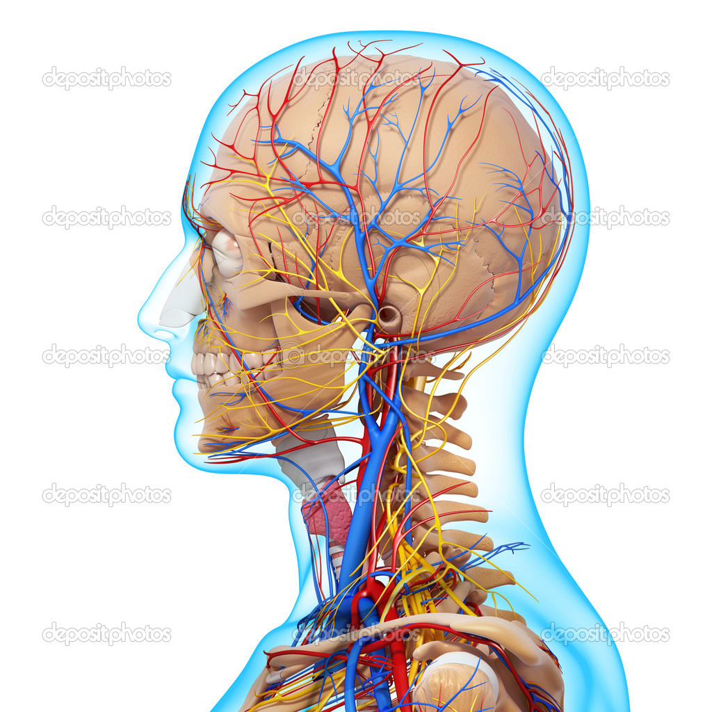 side view of head circulatory system with, eyes, throat, teeth ...