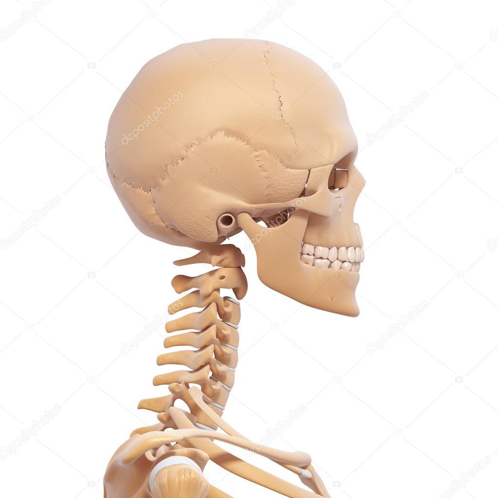 vista lateral de esqueleto humano — Fotos de Stock © pixologic #22677793