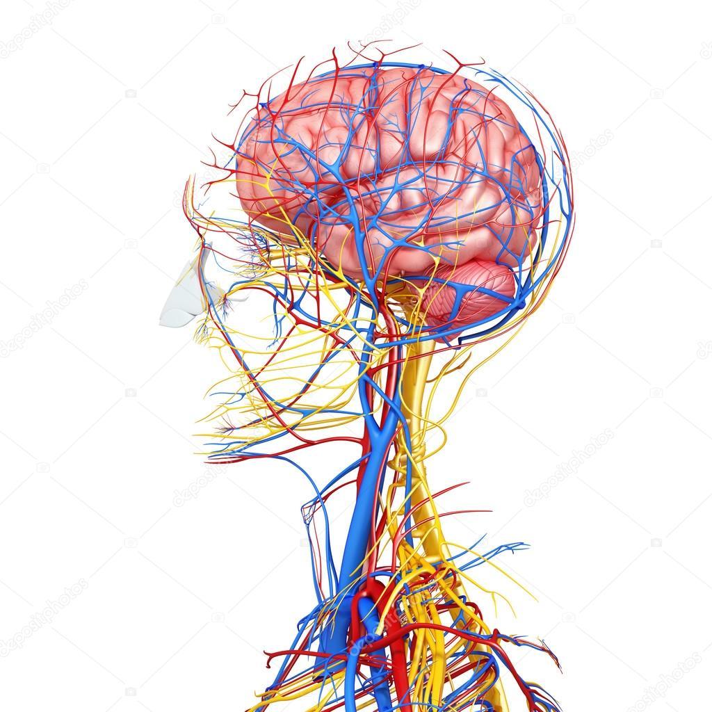 Seitenansicht des Kopf-Kreislauf-Systems mit, Augen, Hals, Zähne ...