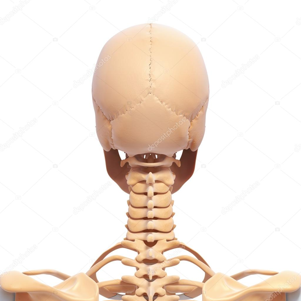 Back View Of Human Skeleton Of Head Stock Photo Pixologic 22677837