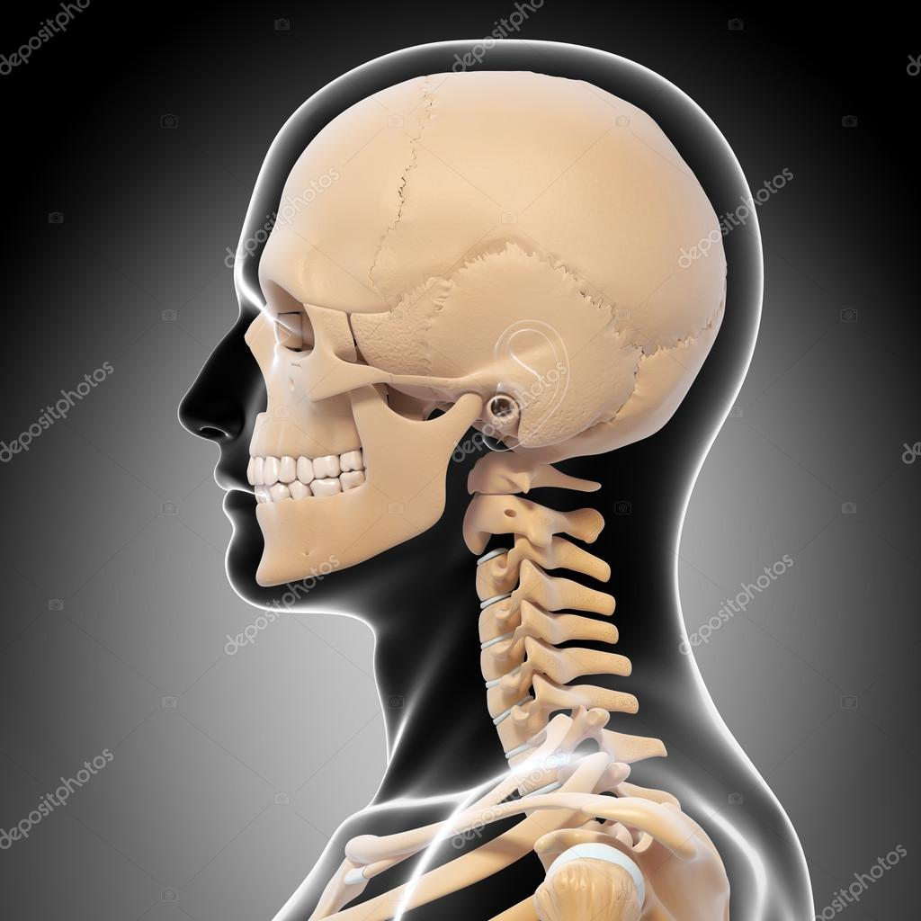 Human Skeleton Side View Stock Photo Pixologic 22677875