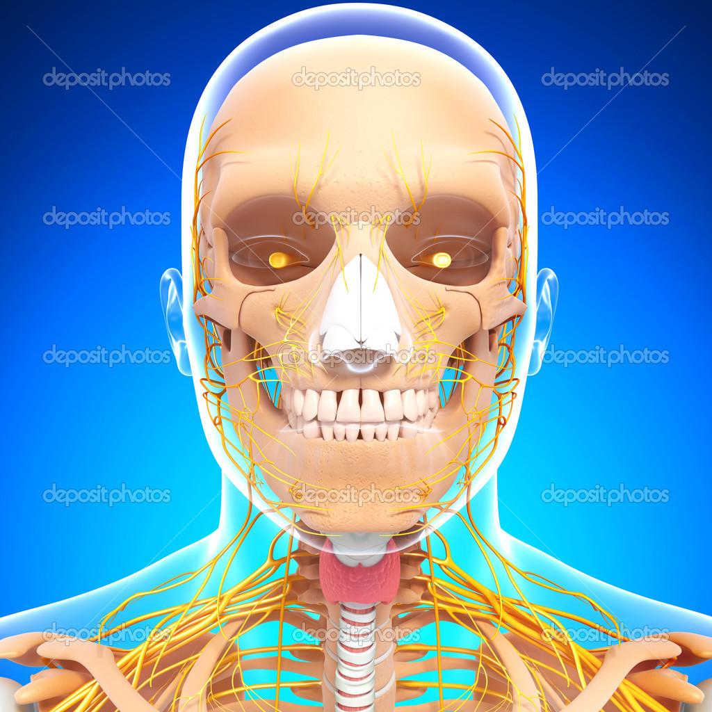 esqueleto humano y el sistema nervioso de la cabeza con los ojos ...