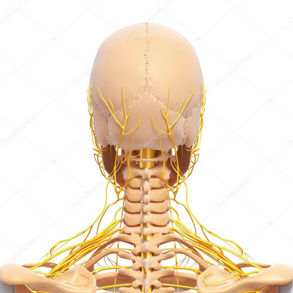 Nervensystem der Rückansicht von Menschliches Skelett des Kopfes mit ...