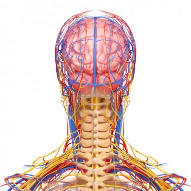 back view of head circulatory system isolated with white background