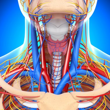 front view of throat circulatory system isolated