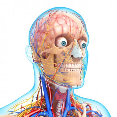 Head circulatory system and nervous system
