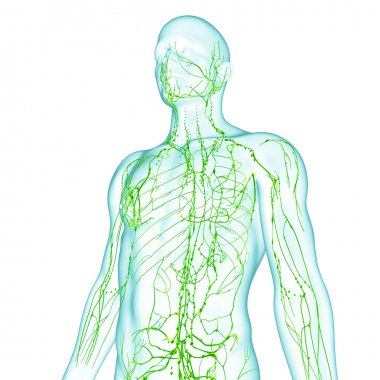 Lymphatic system of male in green
