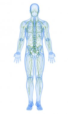 3d art illustration of lymphatic system of male