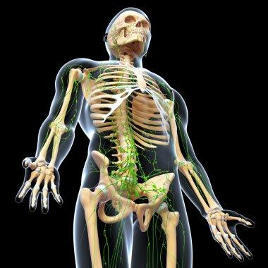 3d art illustration of lymphatic system
