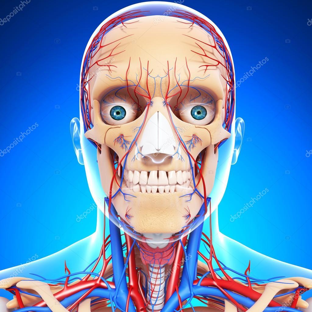 garganta cabeza nervioso, los dientes y el sistema circulatorio ...