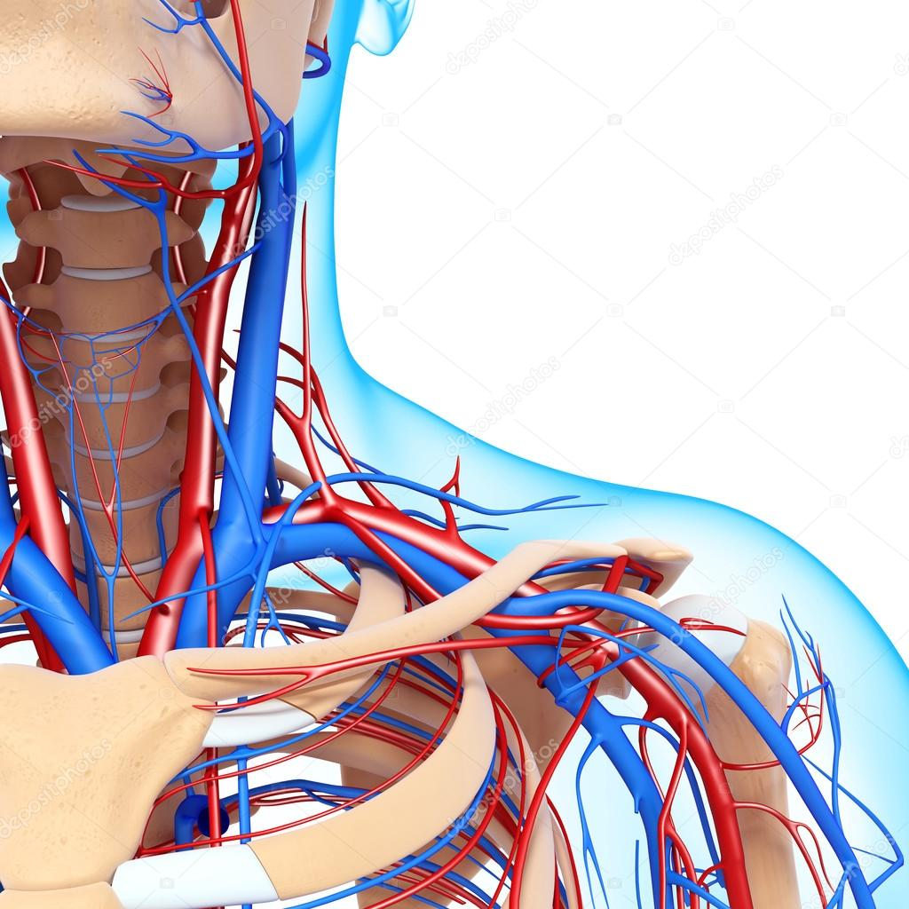 Front half view of throat circulatory system isolated
