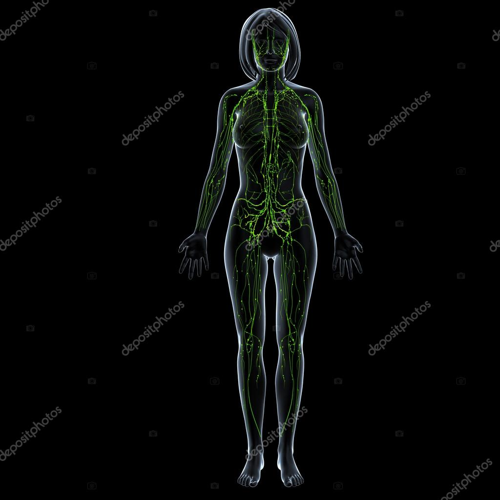 Lymphatic system of female with full body in blue skeleton — Stock ...