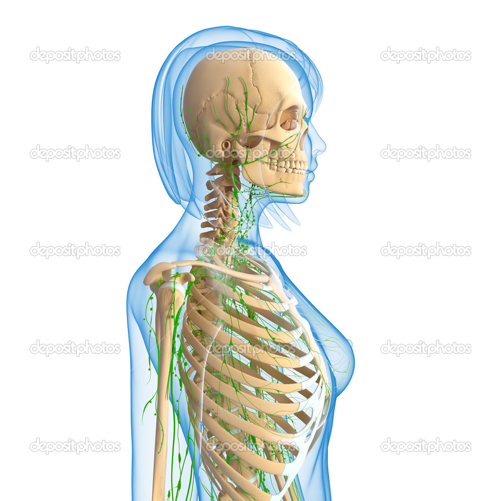 3d Art Illustration Of Lymphatic System Of Female Stock Photo