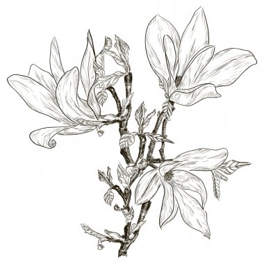 Drawing spring magnolia blossoms