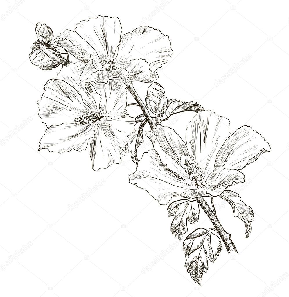 Цветок гибискуса рисунки