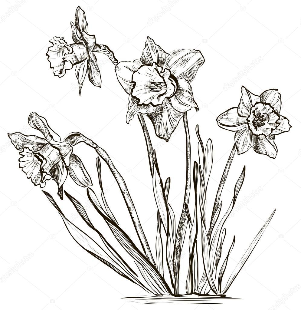 Dessin de fleur jonquille ou fleur du narcisse image - Dessin jonquille fleur ...