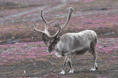 Wild reindeer on tundra