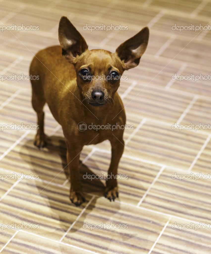 pincher dog stock photo mauriziobiso 1 34268037