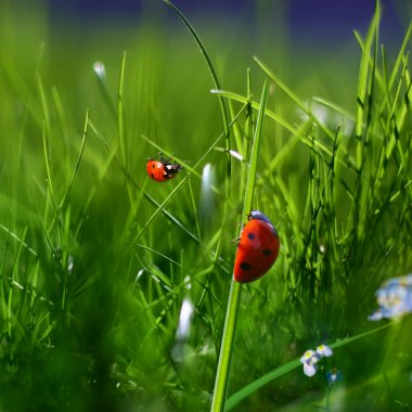 Nature green grass background. Two ladybugs closeup macro image