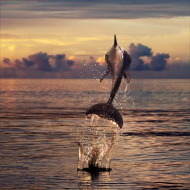 beautiful dolphin leaping out of sea surface at sunset