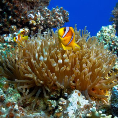 a family of yellow clown fish