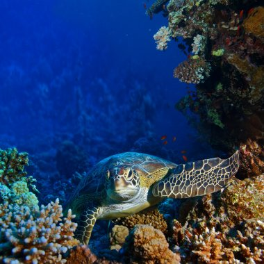 Red sea diving big sea turtle sitting between corals