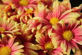 Pink - orange chrysanthemums
