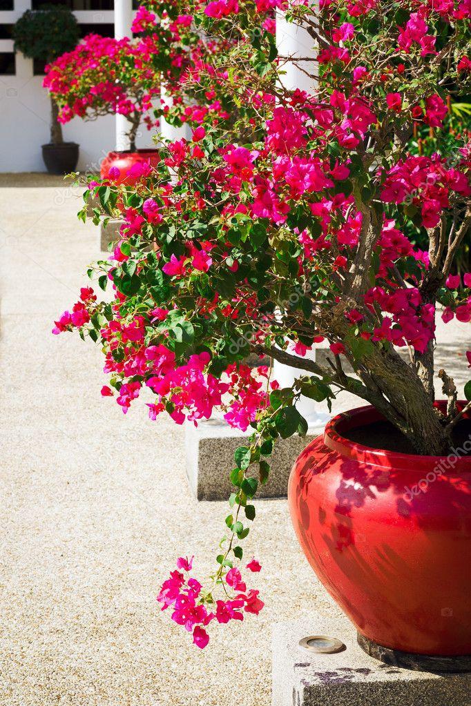 Fleurs de bougainvilliers dans un patio photographie for Bouganville in vaso