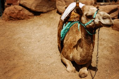 Camel sitting on a desert land