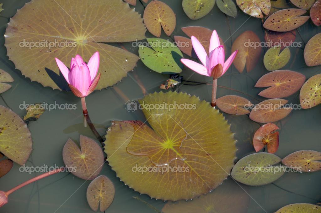 plante aquatique thailande