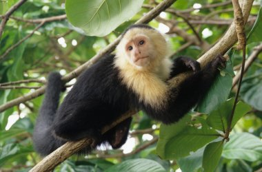 White-faced capuchin monkey on coconut tree, national park of Cahuita, Caribbean, Costa Rica