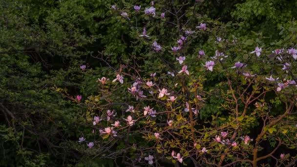 Magnolie bush