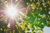 Fotografie paprsky slunce skrze listy stromu