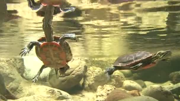 Cute Turtles Swimming