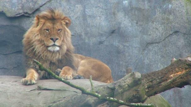 Lev ležící v zoo