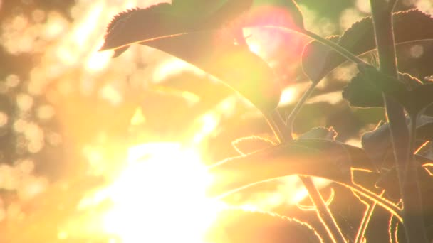 Early morning sun comes up through apple trees at sunrise, time lapse.