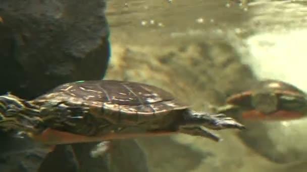 turtle swimming in the aquarium