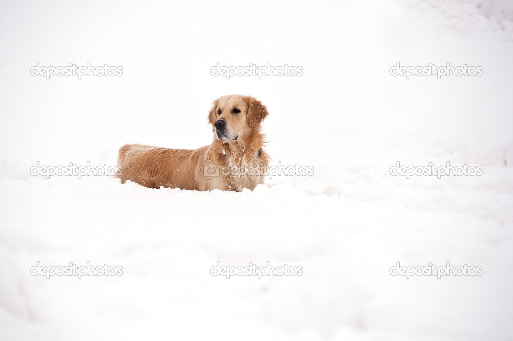 Golden Retriever playing outside in the snow