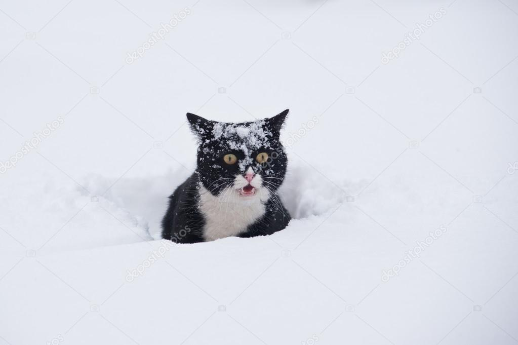 Topic des chats - Page 7 Depositphotos_14976307-stock-photo-black-and-white-cat-walking