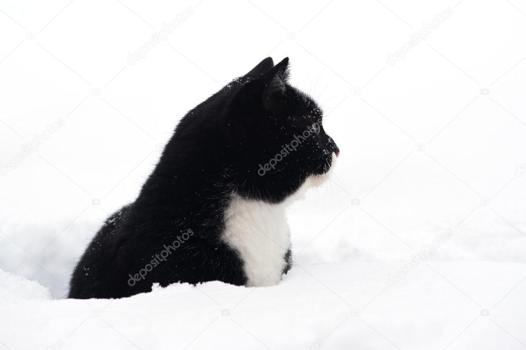 Black and white cat in the snow