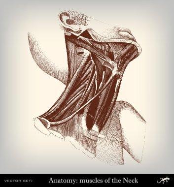 Engraving vintage muscolar system