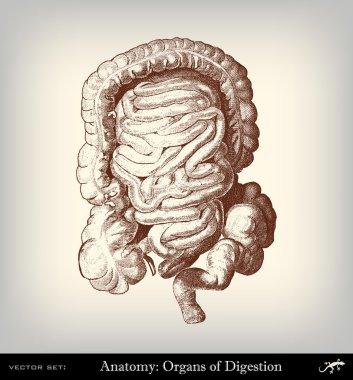 Engraving vintage intestine