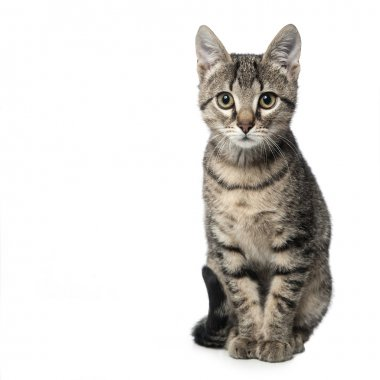 Little gray kitten isolated on white background